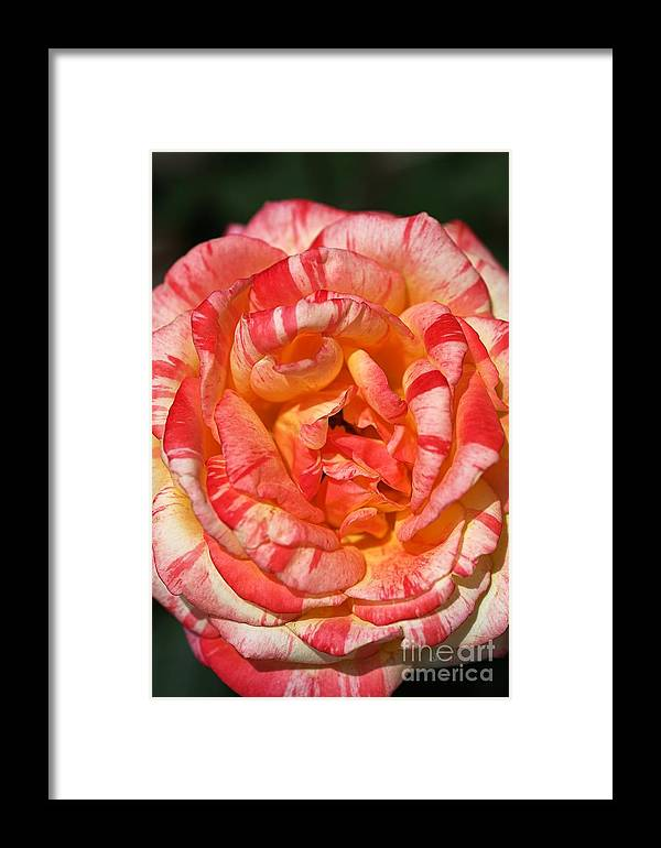 Variegated Rose Framed Print featuring the photograph Vibrant Two Toned Rose by Joy Watson