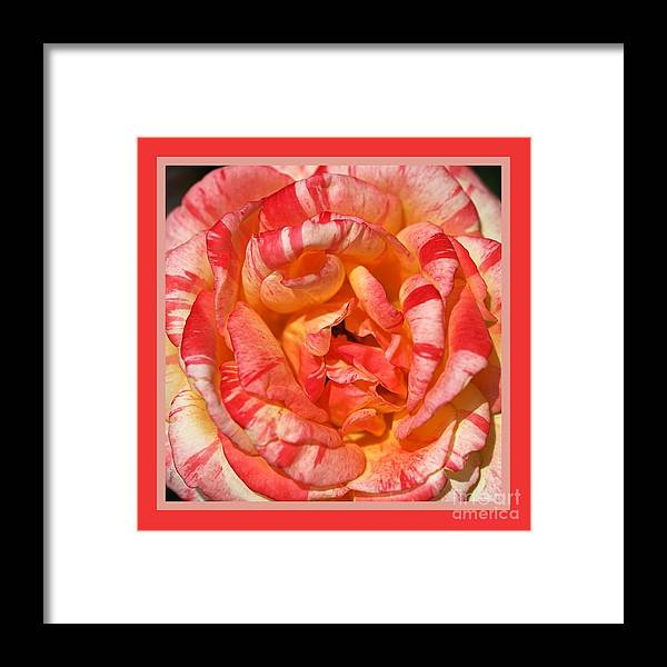 Rose Framed Print featuring the photograph Vibrant Two Toned Rose With Design by Joy Watson