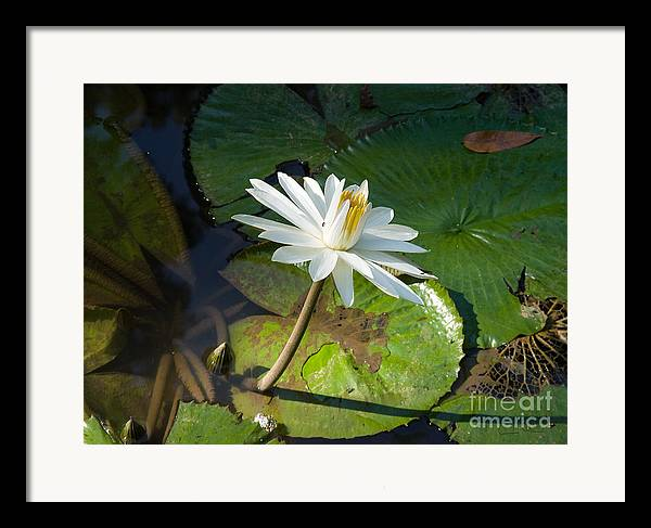 Victoria-regia Framed Print featuring the photograph Victoria-regia Flower by Carlos Alvim