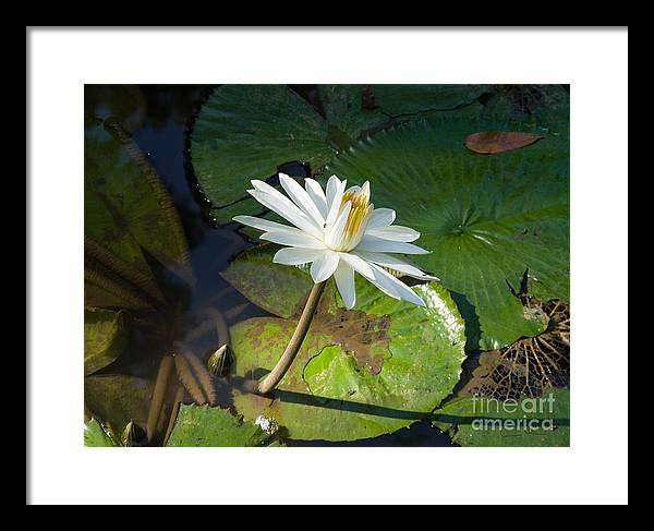 Victoria-regia Framed Print featuring the photograph Victoria-regia Flower by Carlos Alvim