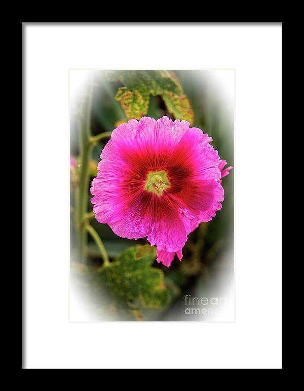 Alcea Rosea Framed Print featuring the photograph Vigenetted Hollyhock by Robert Bales