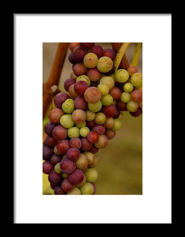Winery Framed Print featuring the photograph Vineyard Grapes by Sonja Anderson