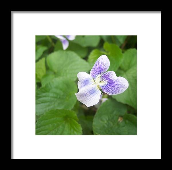 Flower Garden Foliage Purple Violet Close Framed Print featuring the photograph Violet 1 by Anna Villarreal Garbis