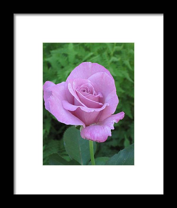 Rose Framed Print featuring the photograph Violet Rose by Gerry Mattia