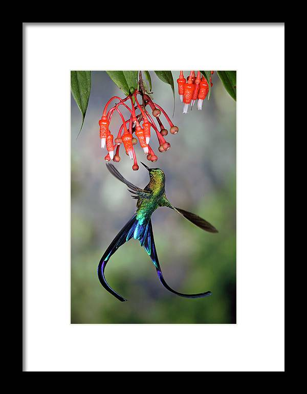 Mp Framed Print featuring the photograph Violet-tailed Sylph Feeding by Michael and Patricia Fogden