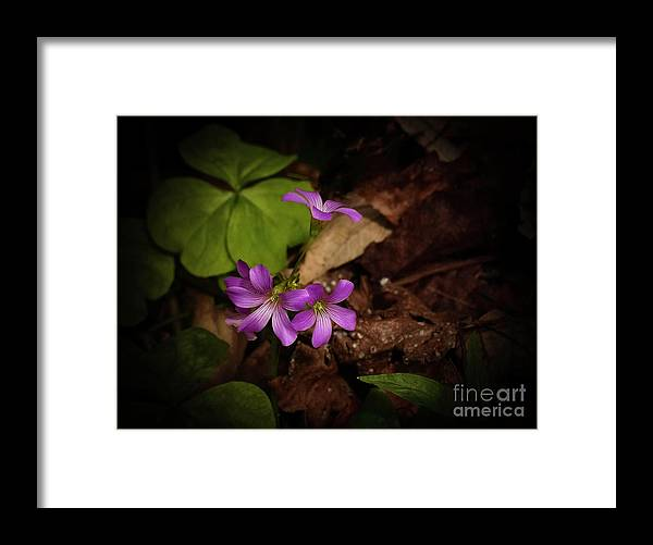 Violet Wood Sorrel Framed Print featuring the photograph Violet Wood Sorrel by Teresa A and Preston S Cole Photography
