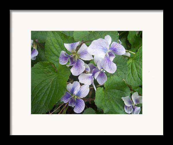 Flowers Garden Violets White Purple Green Framed Print featuring the photograph Violets 2 by Anna Villarreal Garbis