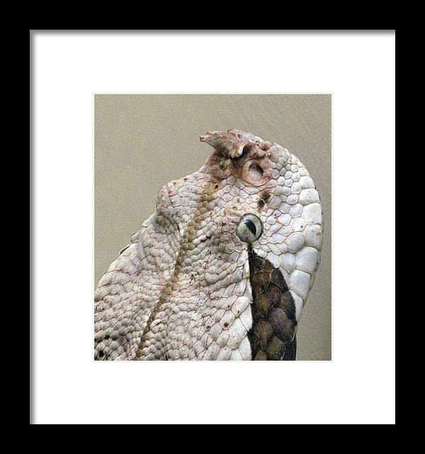 Animal Framed Print featuring the photograph Viper by Richard Singleton