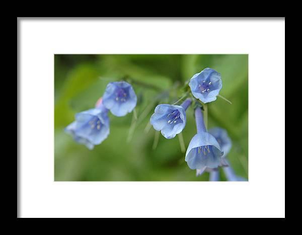 Bluebells Framed Print featuring the photograph Virginia Bluebells I by Kathy Schumann