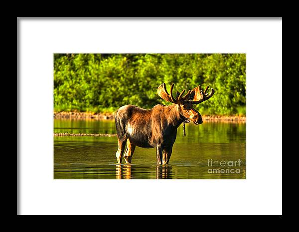 Moose Framed Print featuring the photograph Wading For Breakfast by Adam Jewell
