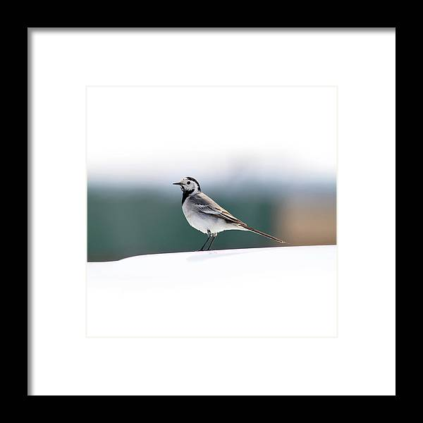 Wagtail Framed Print featuring the photograph Wagtail by Nick Patrin