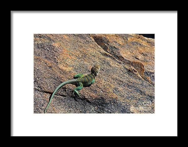 Lizard Framed Print featuring the photograph Waiting For Bugs by Richard Greiner