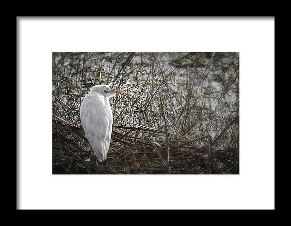 Cattle Egret Framed Print featuring the photograph Waiting For Opportunity by Elizabeth Eldridge