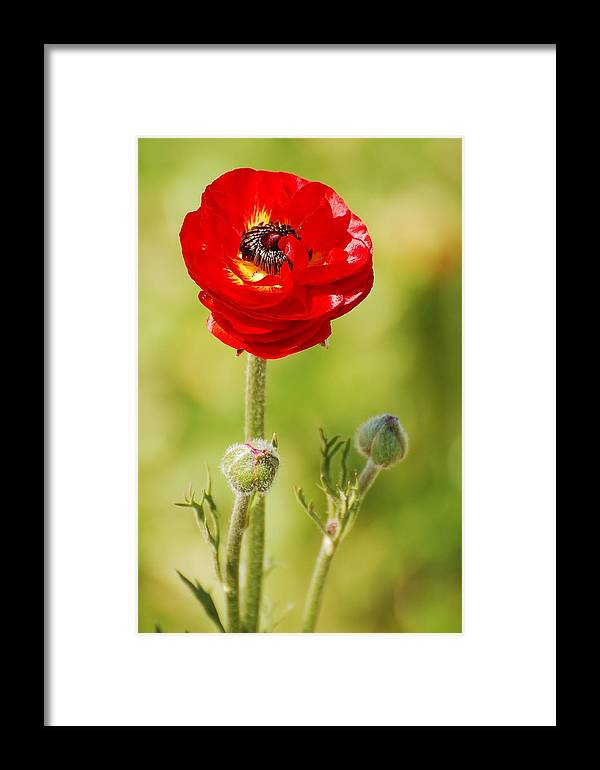 Ranunculus Framed Print featuring the photograph Wanting by Jean Booth