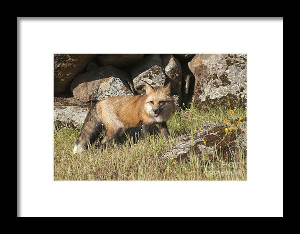 Red Fox Framed Print featuring the photograph Wary Red Fox by Sandra Bronstein