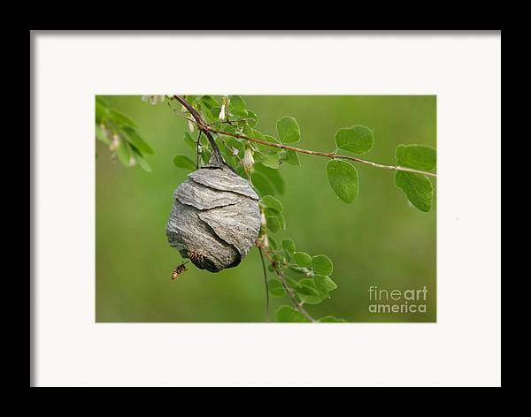 Wasp Framed Print featuring the photograph Wasp by Dennis Hammer