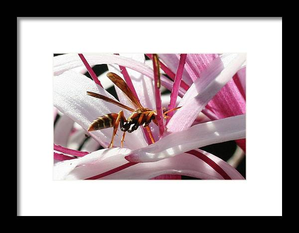 Wasp Framed Print featuring the photograph Wasp On Flower by Francesco Roncone