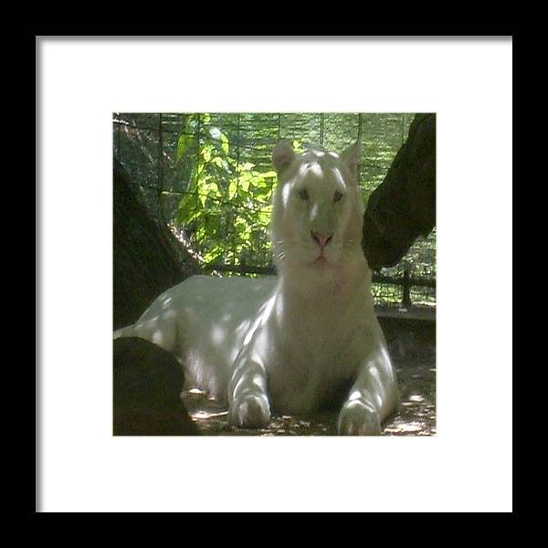 Tiger Framed Print featuring the photograph Watching by Carla Fionnagain