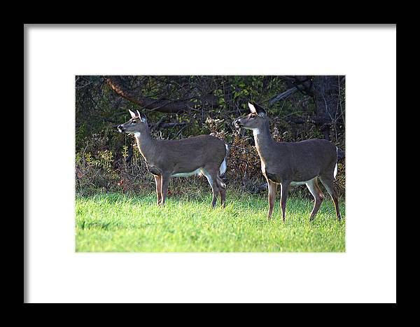 Deer Framed Print featuring the photograph Watching You by Alan Dean