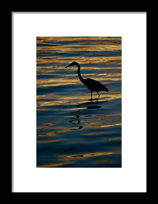 Water Bird Series Framed Print featuring the photograph Water Bird Series 7 by Stephen Poffenberger