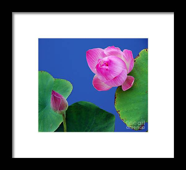 Water Lili Green Pink Flower Blue Color Nature Framed Print featuring the photograph Water Lili by Ty Lee