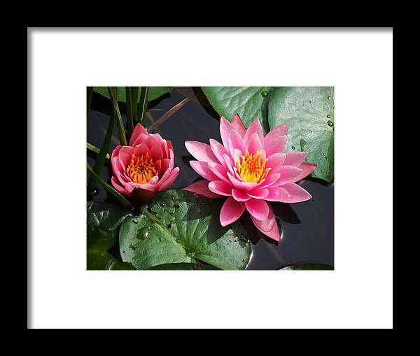 Water Lilies Framed Print featuring the photograph Water Lilies by Joy Nichols