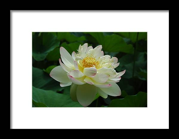 Digital Framed Print featuring the photograph Water Lilly Dancing by Kicking Bear Productions