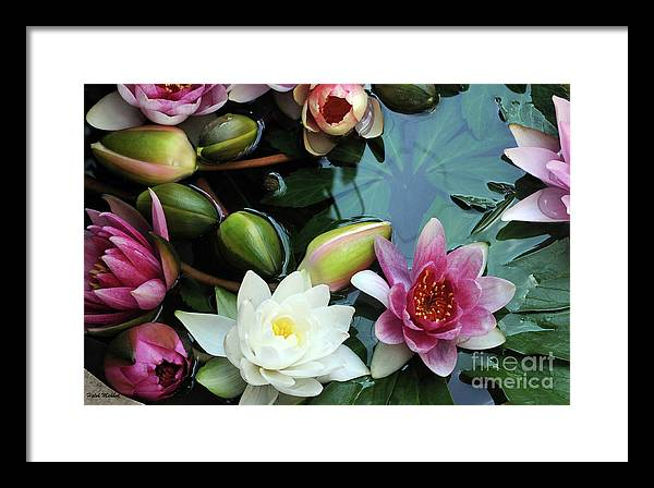 Lily Framed Print featuring the photograph Water Lilly by Haleh Yaghmai