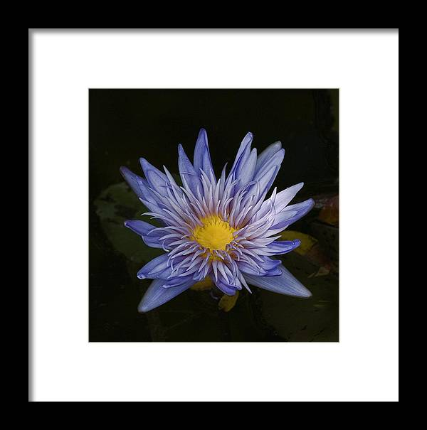 Flower Framed Print featuring the photograph Water Lily 4 by Robert Ullmann