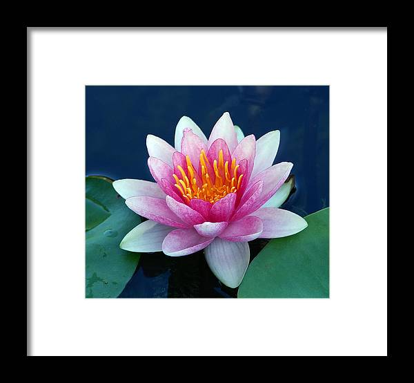 Water Lily Framed Print featuring the photograph Water Lily by Bill Morgenstern