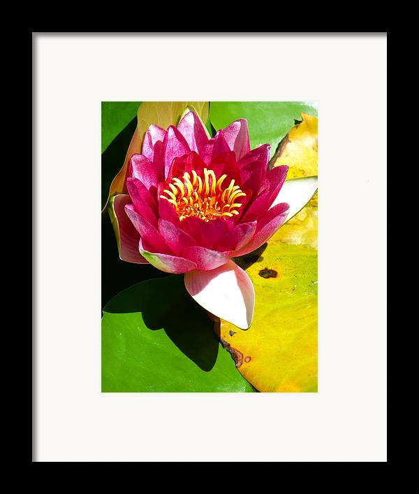 Water Lily Framed Print featuring the photograph Water Lily Fc 2 by Diana Douglass