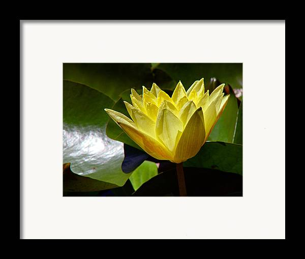 Water Lily Framed Print featuring the photograph Water Lily Fc by Diana Douglass