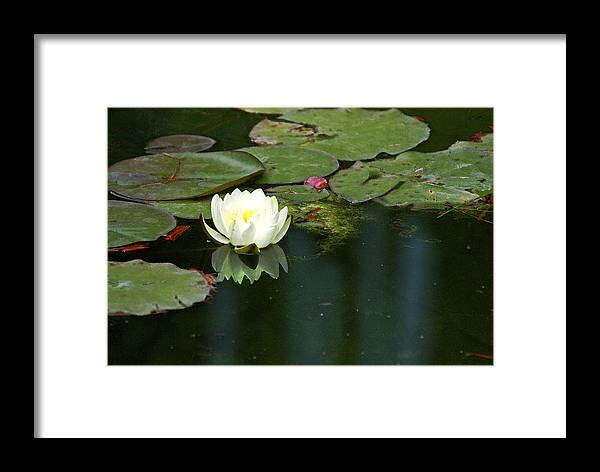 Lily Framed Print featuring the photograph Water Lily by Heather Coen