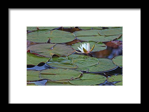 Florida Framed Print featuring the photograph Water Lily Scene by Bill Chambers