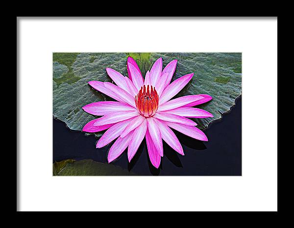 Water Lily Framed Print featuring the photograph Water Lily-st Lucia by Chester Williams