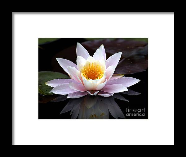 Waterlily Framed Print featuring the photograph Water Lily With Reflection by Neil Doren