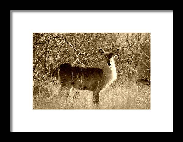 Waterbuck Framed Print featuring the photograph Waterbuck In Sepia by Riana Van Staden