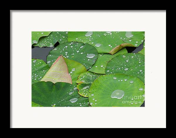 Water Lilies Framed Print featuring the photograph Waterdrops On Lotus Leaves by Silke Magino