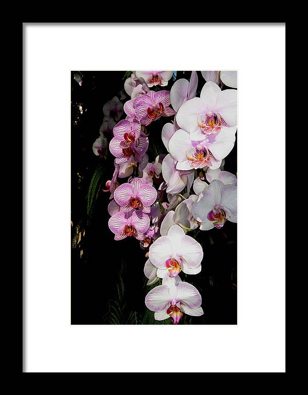 Orchid Framed Print featuring the photograph Waterfall by Betnoy Smith