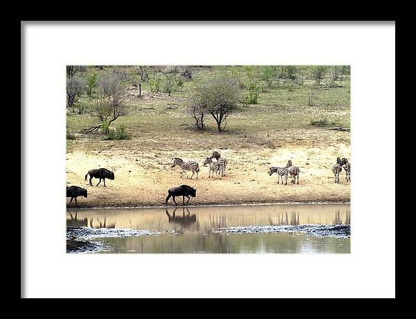 Zebra Framed Print featuring the photograph Watering Hole by Charles Ridgway