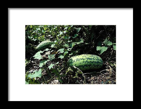 Flowers Framed Print featuring the photograph Watermelons by Michael Thomas