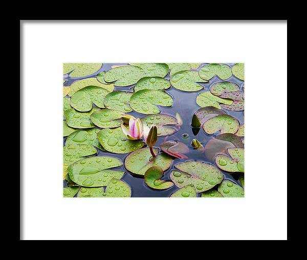 Water Lily Flow Age Framed Print featuring the photograph Watter Lily by Nereida Slesarchik Cedeno Wilcoxon