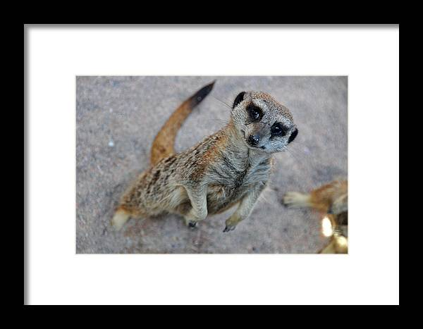 Animal Framed Print featuring the photograph Wazzaa by Boris Shekhirev