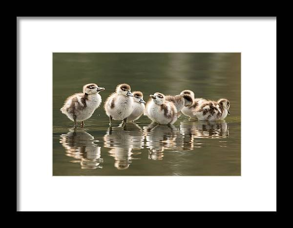 Gosling Framed Print featuring the photograph We Are Family - Seven Egytean Goslings In A Row by Roeselien Raimond