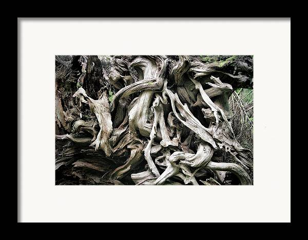 Roots Framed Print featuring the photograph Weathered Roots - Sitka Spruce Tree Hoh Rain Forest Olympic National Park Wa by Christine Till