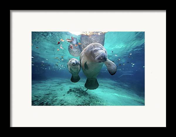 Horizontal Framed Print featuring the photograph West Indian Manatees by James R.D. Scott