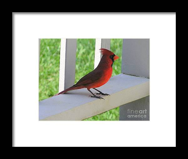Mary Deal Framed Print featuring the photograph Western Cardinal by Mary Deal