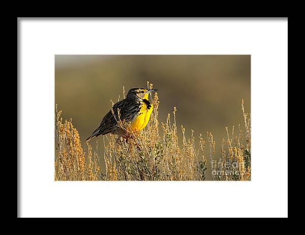 Bird Framed Print featuring the photograph Western Meadowlark At Dawn by Dennis Hammer
