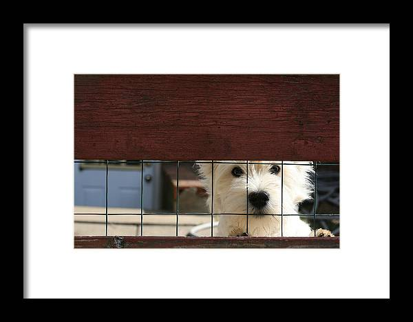 Westie Framed Print featuring the photograph Westie by Susie DeZarn