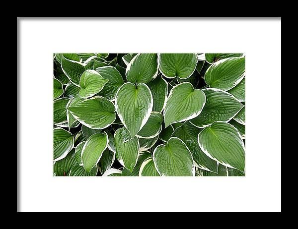 Hostas Framed Print featuring the photograph Wet Hostas by Scott Bricker